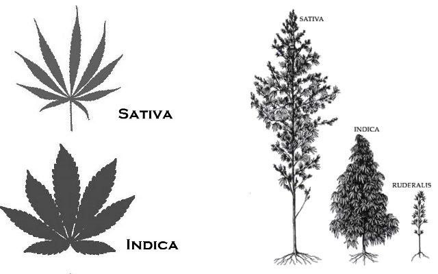 Chanvre Cannabis Huile de CBD