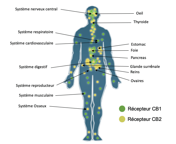 CBD actúa sobre nuestro sistema endocannabinoide